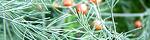 asparagus_officinalis_altilis.jpg