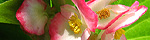 begonia_semperflorens.jpg