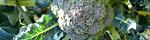brassica_oleracea_italica.jpg