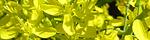 brassica_rapa_laciniifolia.jpg