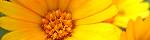 calendula_arvensis.jpg