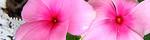 cathranthus_roseus.jpg