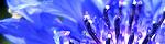 centaurea_cyanus.jpg