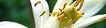 citrus_limon.jpg