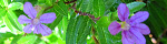 cuphea_hyssopifolia.jpg