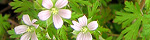 geranium_carolinianum.jpg