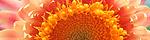 helichrysum_bracteatum.jpg