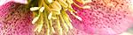 helleborus_orientalis.jpg