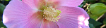 hibiscus_mutabilis.jpg