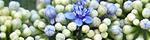 hydrangea_macrophylla_normalis.jpg