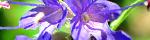 hyssopus_officinalis.jpg