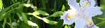 iris_japonica.jpg