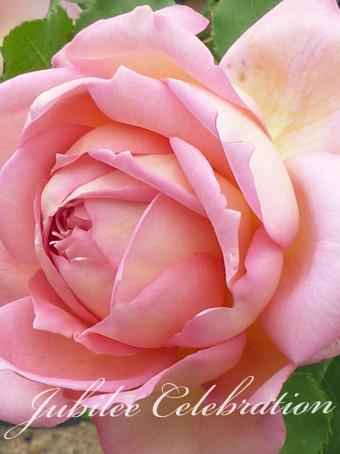 rose2015_85.jpg