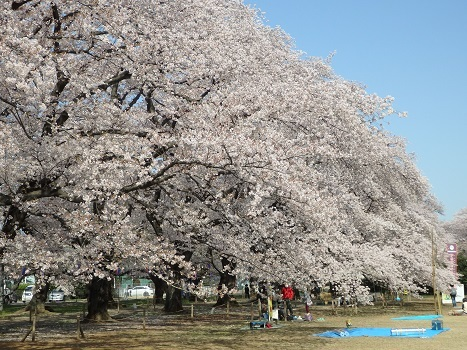 「無線山の桜並木・トラスト地(伊奈町)」