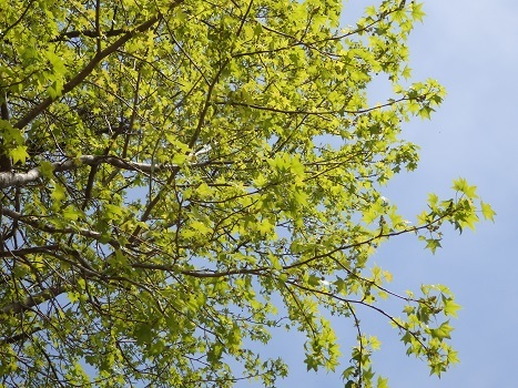 「モミジバフウ ~雄花と雌花の丸い花序(1)」