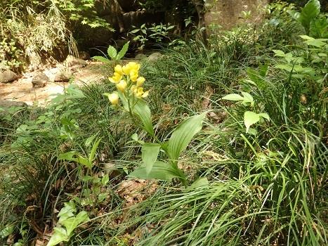 「キンラン ~黄金色の花」