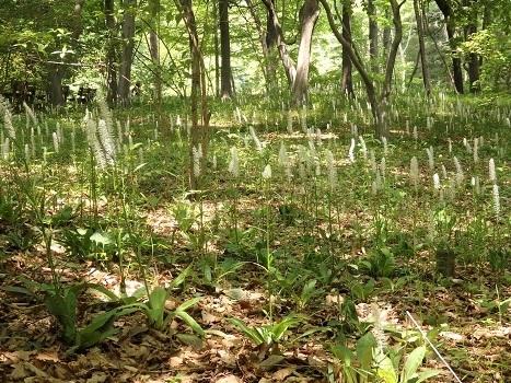 「シライトソウ ~林床の白い花穂」