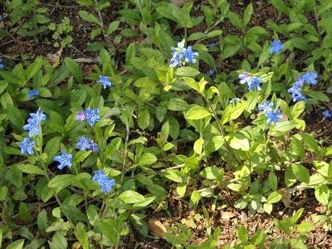 「ホタルカズラ ~花は青緑色に白の星」