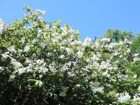 「サラサウツギ(ヤエウツギ)~八重咲きのウツギ」