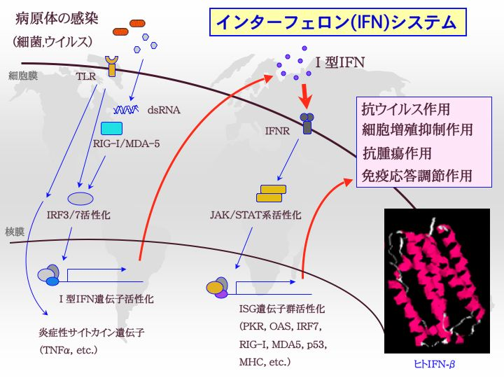 IFNsystem.jpg