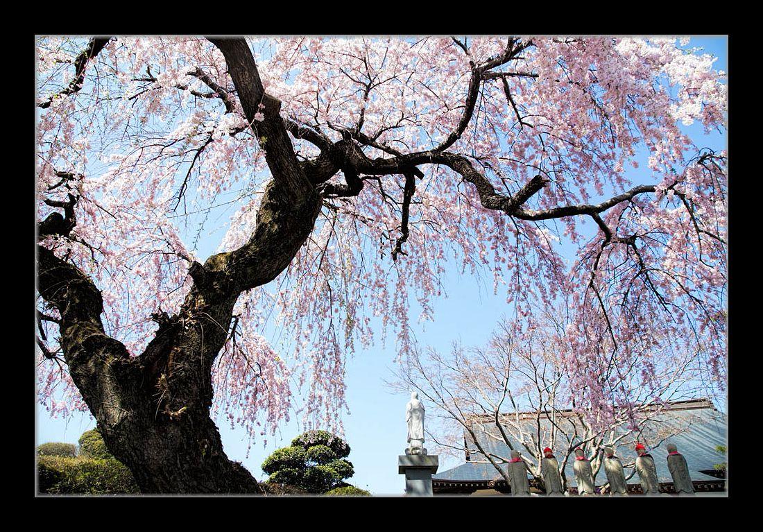 ピンクのしだれ桜