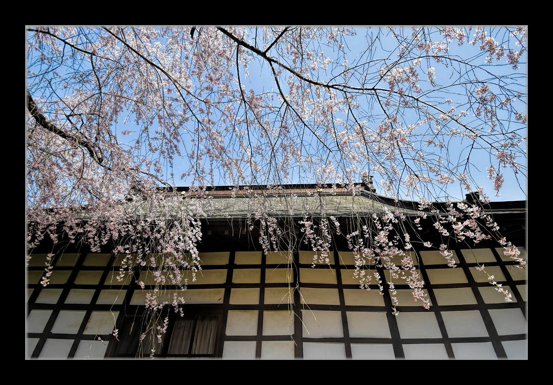 山寺のしだれ桜