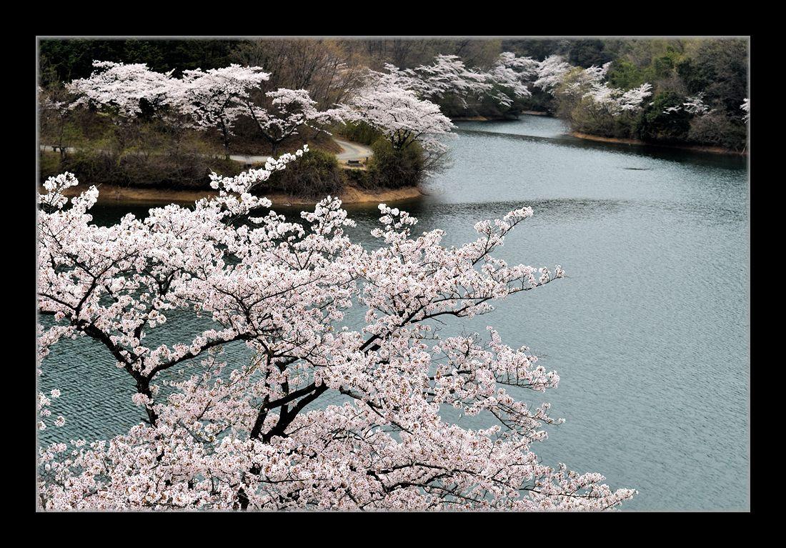 貯水池の桜