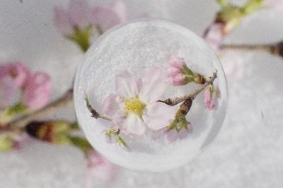 東海桜 宙玉