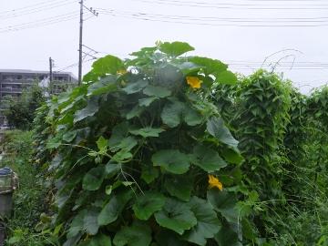 雨が続いて雑草が