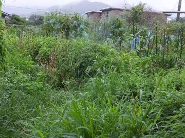 雨が続いて雑草が3