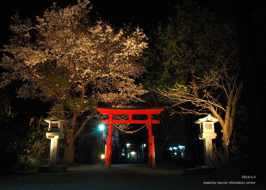 《いわき市桜情報》三島八幡神社のシダレザクラ ライトアップ開催中! [平成30年4月4日(水)更新]1