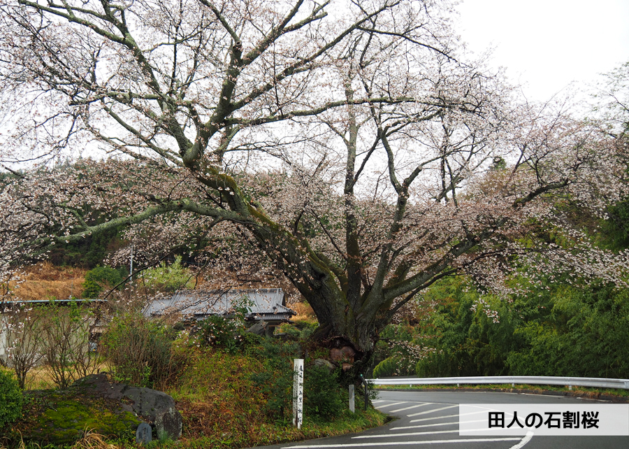 《いわき市桜情報》田人の石割桜がほぼ見頃です!! [平成30年4月8日(日)更新]1