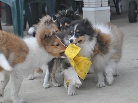 子犬たち4