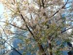桜の種類は?