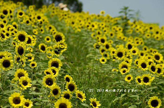 2015年8月 大阪・ハーベストの丘 ひまわり畑1