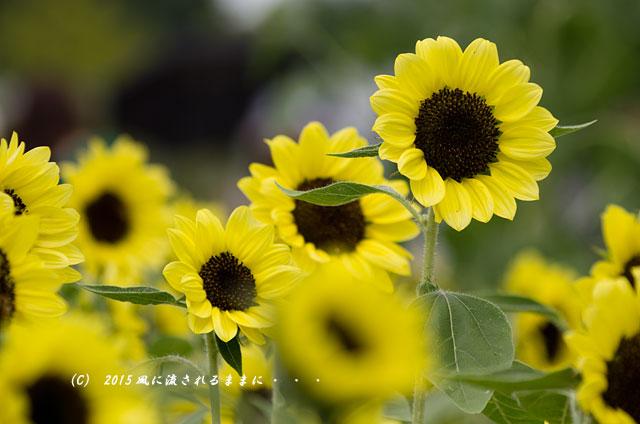 2015年8月 大阪・ハーベストの丘 ひまわり畑3