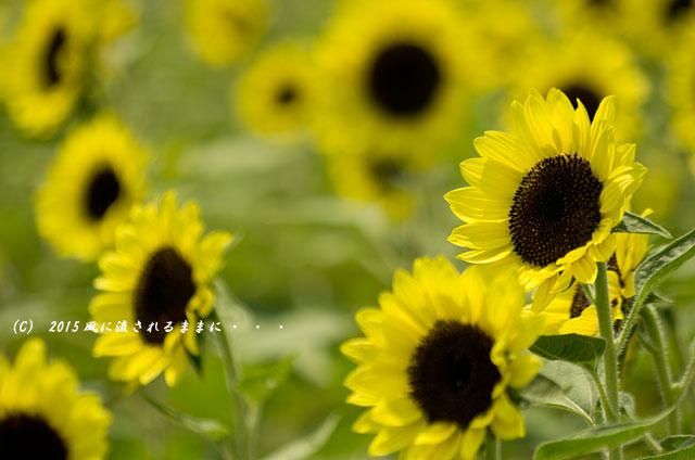 2015年8月 大阪・ハーベストの丘 ひまわり畑4