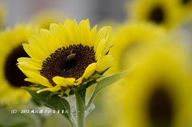 2015年8月 大阪・ハーベストの丘 ひまわり畑6