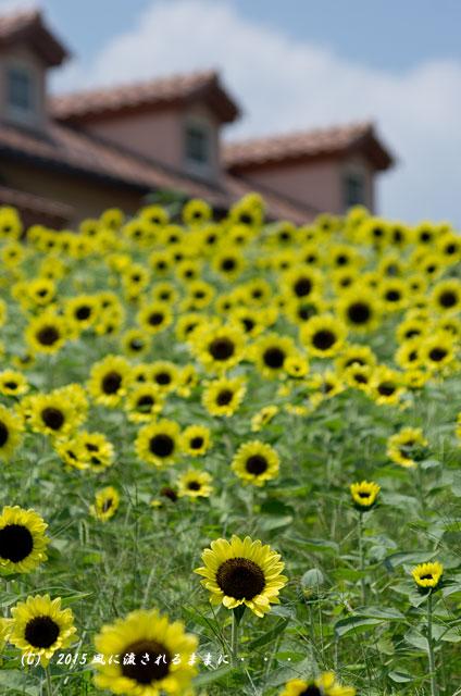2015年8月 大阪・ハーベストの丘 ひまわり畑7
