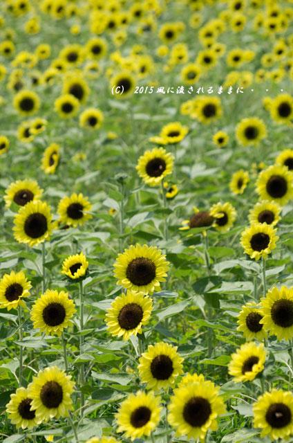 2015年8月 大阪・ハーベストの丘 ひまわり畑8