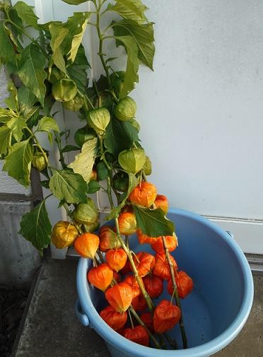 夏野菜 (3)
