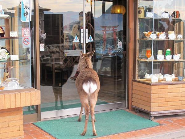 宮島の鹿1