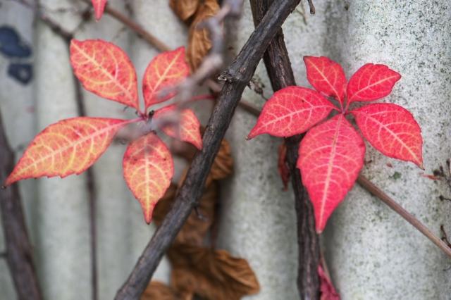 ヘンリーヅタの紅葉-2