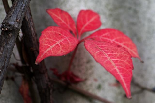 ヘンリーヅタの紅葉-1