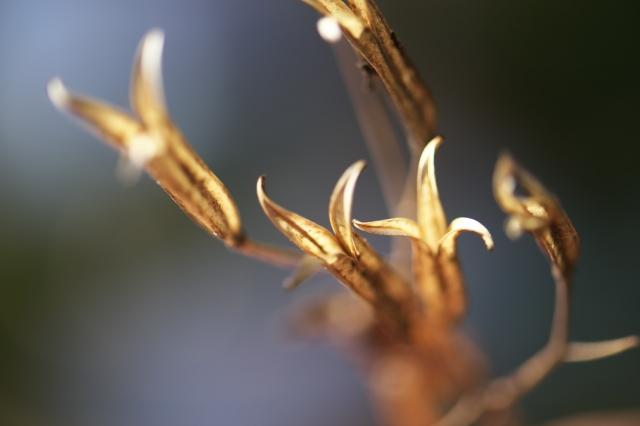 白花ホトトギスの種鞘-1