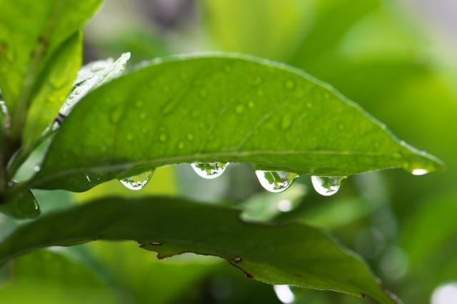 クチナシ-水滴