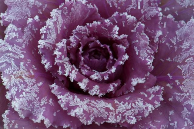 花キャベツ-3