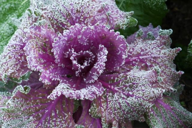 花キャベツ-1