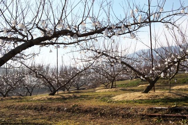 新府の桃畑-2
