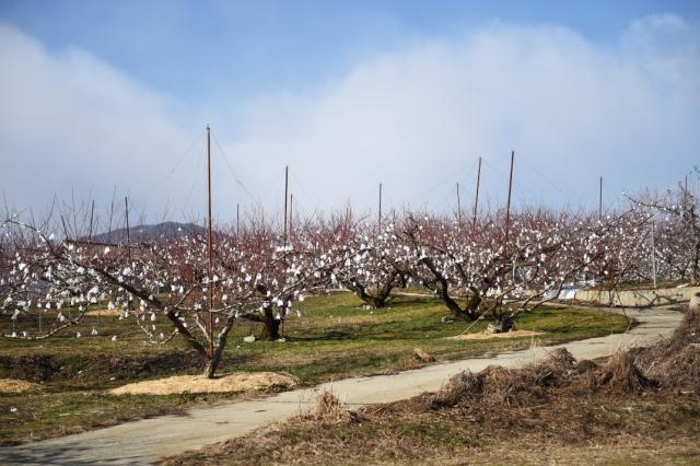 新府の桃畑-5